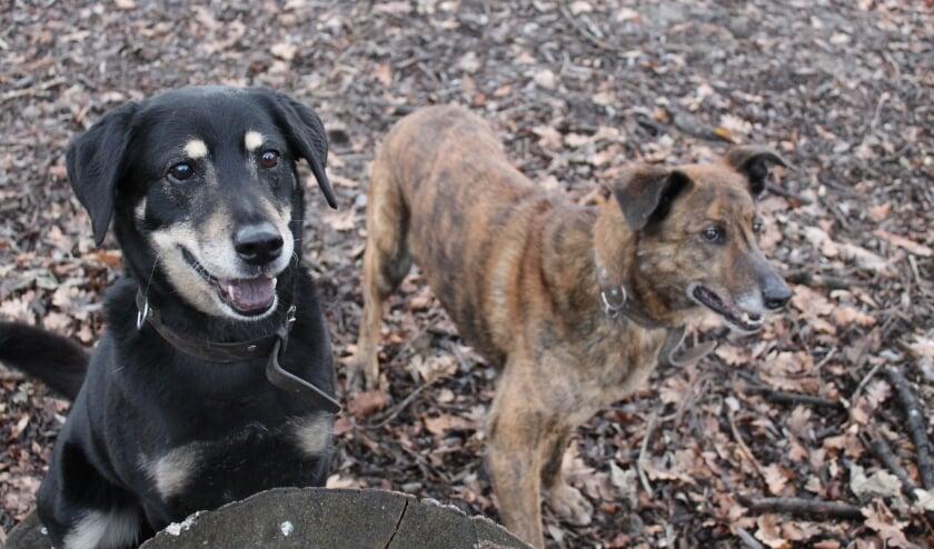 <p>Bo (links) heeft een vriendelijke karakter. Roos is onzekerder en volgt haar maatje blindelings. Daarom worden samen geplaatst. (Foto: pr)</p>