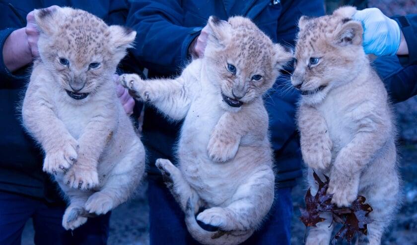 <p>De drie leeuwenwelpen van Burgers' Zoo zijn ingeënt.&nbsp;</p>