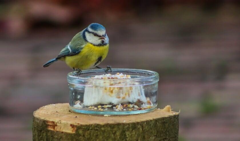 <p>Comfortabel achter glas is er mooi zicht op een pimpelmeesje dat komt snacken. Foto: Bep Bouhuijzen</p>