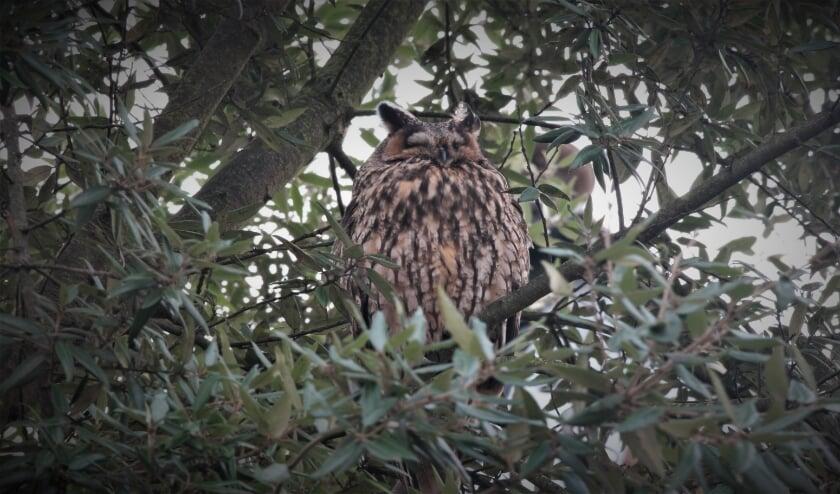 <p>Deze ransuil knapt even een uiltje in een ándere boom. De prachtige vogels behoren tot een kwetsbare, beschermde soort. Foto: Bart den Otter</p>