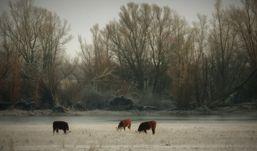 koeien in de vrieskou