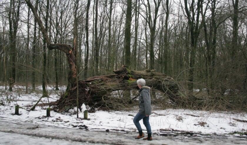 De omgevallen Kapelleboom in Doorwerth. Foto: Kees Jansen