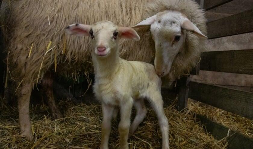 <p>De geboortes van de lammetjes bij de kudde van Ermelo verloopt voorspoedig.&nbsp;</p>