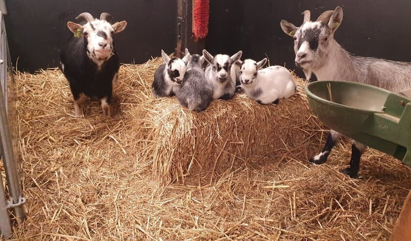 <p>Familie dwerggeit van kinderboerderij De Oedenstee op de foto.</p>