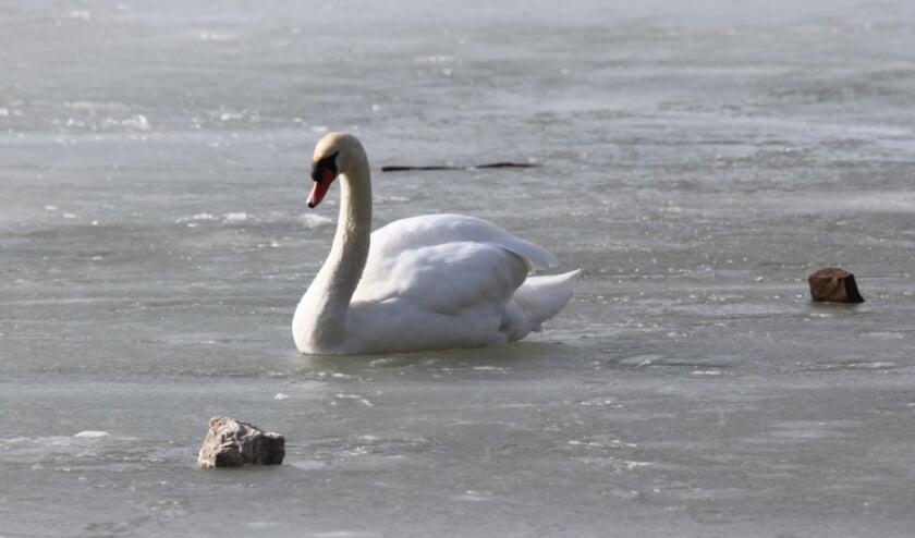 <p>Door hun isolerende veren en bijzondere bloedsomloop in de poten, vriezen watervogels vrijwel nooit vast. (Foto: Dierenambulance Den Haag e.o.)</p>