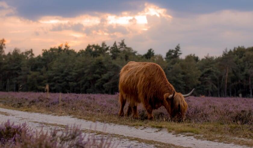 <p>Als de Schotse Hooglanders kalveren hebben dan kunnen de volwassen dieren agressief worden als mensen of honden te dichtbij komen.&nbsp;</p>