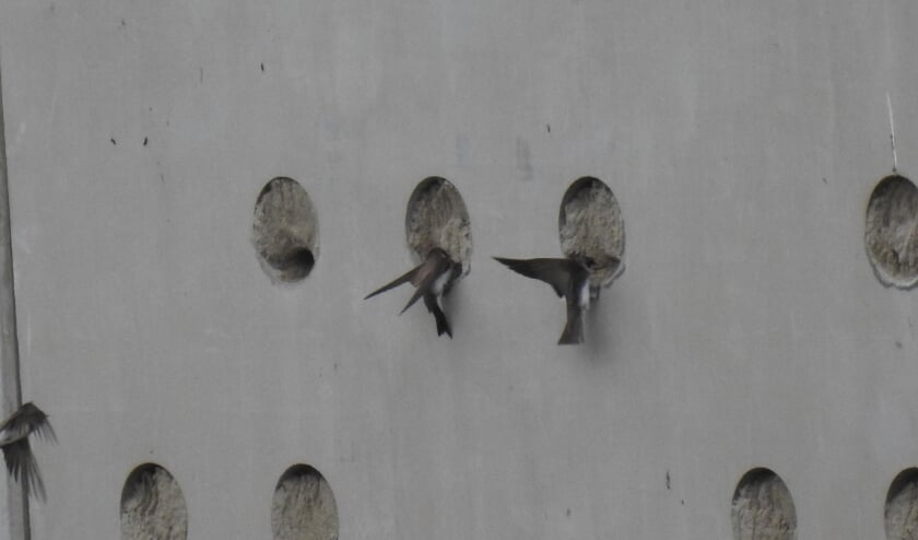 <p>De eerste paartjes oeverzwaluwen zijn alweer gesignaleerd in het Waalbos.</p>