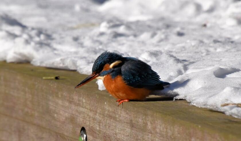 <p>Een ijsvogel houdt helemaal niet van ijs, want dan kan het vogeltje niet vissen.</p>
