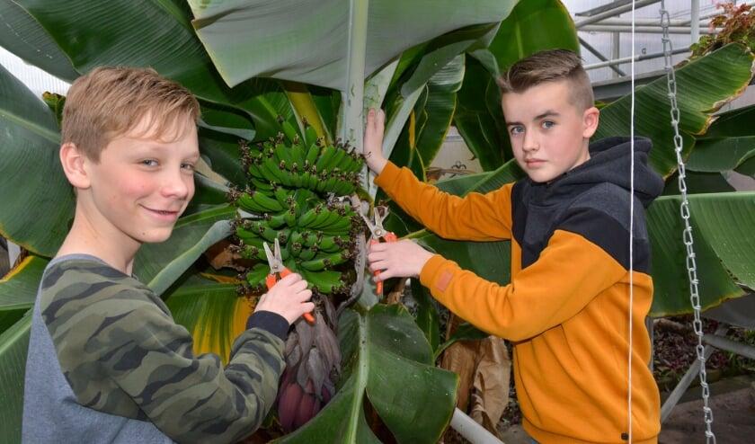 <p>Sepp Wiltenburg en Tim van den Berg zijn in een van de kassen aan het werk bij de bananenboom. Foto: Paul van den Dungen</p>