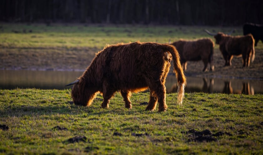 <p>De vier Schotse hooglanders grazen sinds half januari op de weides van de Clingse Bossen.&nbsp;</p>