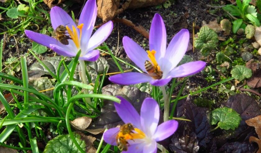 <p>Drie krokussen met drie bijen.</p>