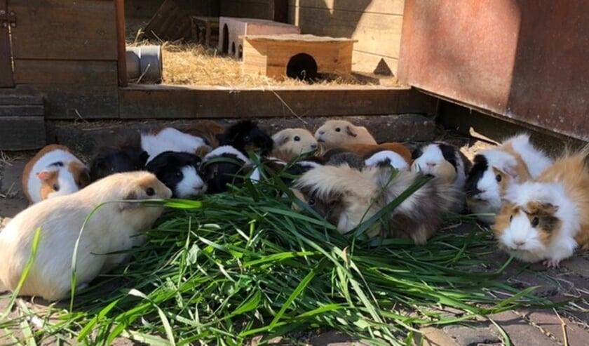 <p>Wat een leukerds. De cavia is in Nederland een populair huisdier. Ze worden zowel in een hok binnen als buiten gehouden.</p>