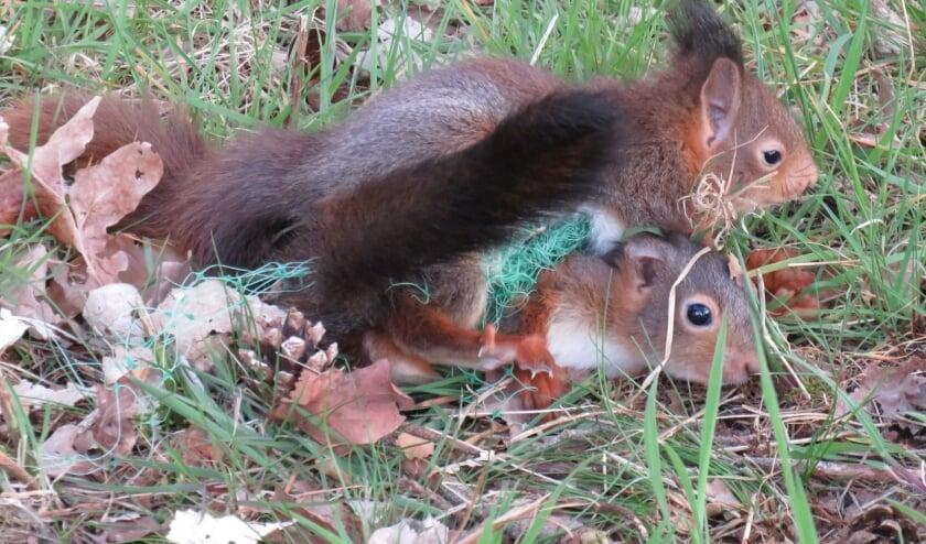 <p>Verstrikte eekhoorns. (foto: Dick Rustenburg)</p>