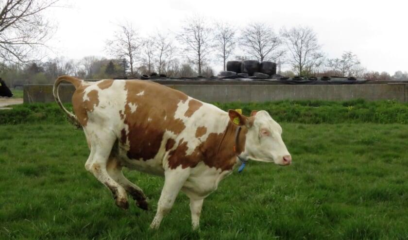 Een blijde koe