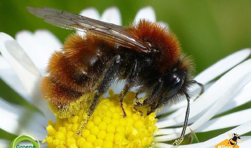 <p>Foto: een Vosje (vrouw), een van de bijensoorten die nu te zien en te tellen zijn.</p>