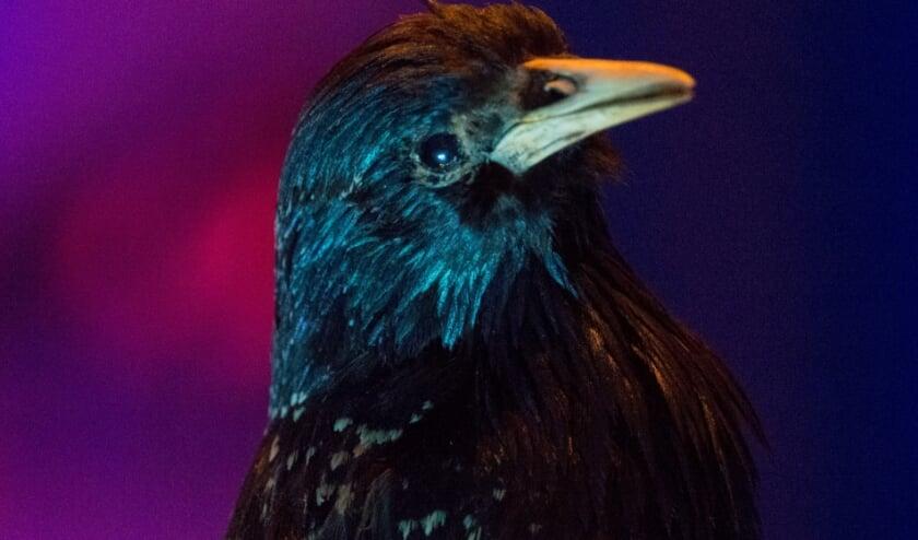 <p>Starling de spreeuw</p>