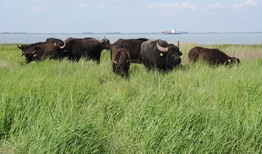 <p>De waterbuffels blijven hier tot de winter. Dan overwinteren ze in Belgi&euml; en komen ze in de lente weer terug.</p>