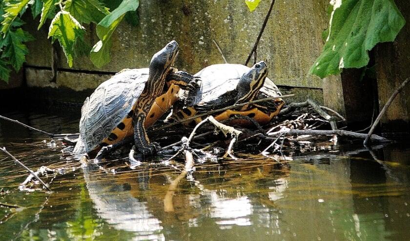 <p>Schildpadden bezetten een nest van broedende meerkoeten.&nbsp;</p>