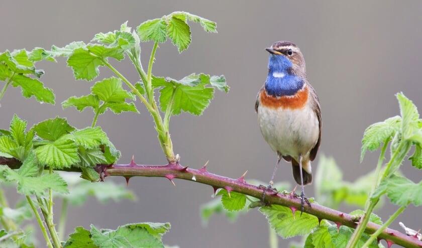 <p>Vooral het aantal vogels is enorm toegenomen. Blauwborsten (foto), tjiftjaffen en rietzangers maken graag hun nestje in het jonge bos. Foto: Natuurmonumenten – Linda van der Veeken&nbsp;</p>