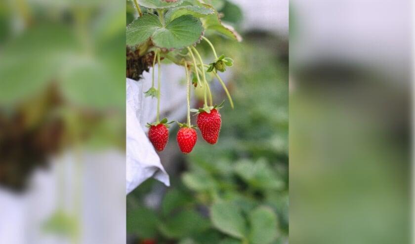 <p>Aardbeien.</p>